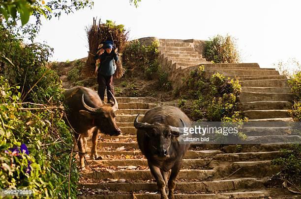 die Reisterrassen von Yuanyang Wasserbueffel und eine Baeuerin beim Holz tragen