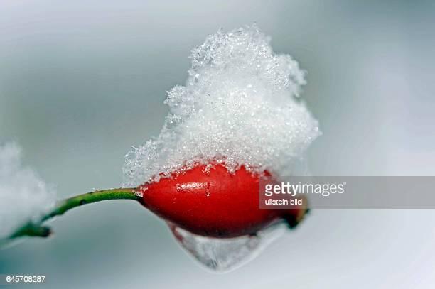 Die schneebedeckten roten Hagebutten der Hundrose Rosa canina auch Heckenrose oder Wildrose sind Winternahrung fuer viele heimische Voegel