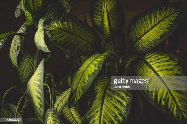 dieffenbachia seguine, dumbcane, dumb cane houseplant - bicolore colore foto e immagini stock