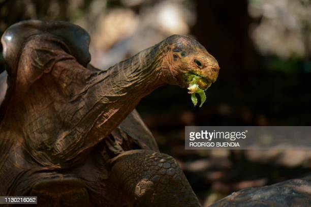 Diego a tortoise of the endangered Chelonoidis hoodensis subspecies from Espanola Island is seen in a breeding centre at the Galapagos National Park...