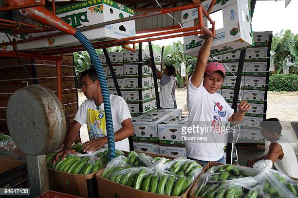 Diego Orterra and Estrella Mera pack and stack boxes of bananas to be shipped to Guayaquil and then world wide in Hacienda Norma Guisella Ecuador on...