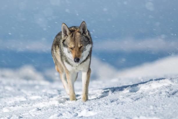 Diego, Polar Wolfdog