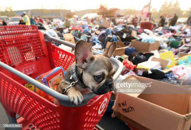 Diesel a French bulldog puppy looks on from a shopping cart at an evacuee encampment in Chico California on November 17 2018 More than 1000 people...