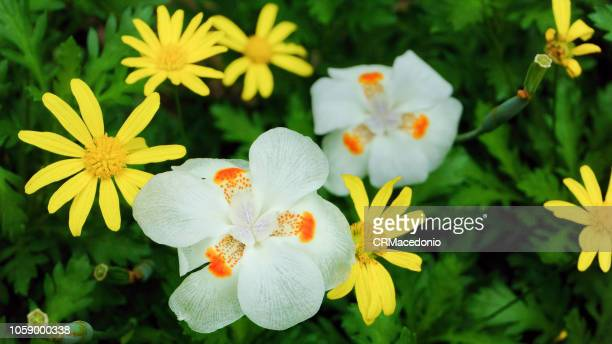 dietes iridioides and zinnia flowers. - crmacedonio stock photos and pictures