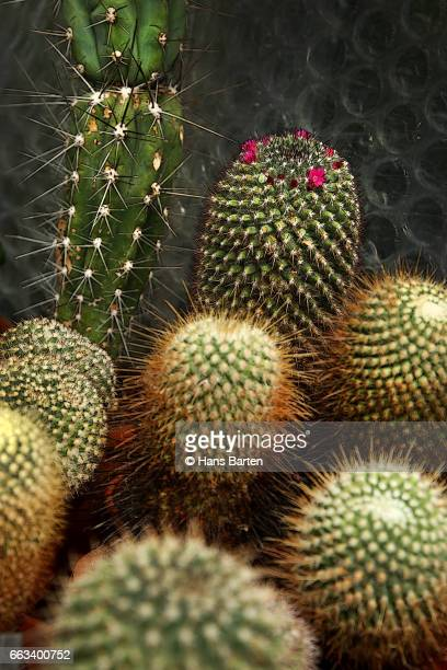 diffentrent sort of cactusen