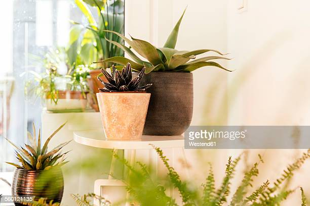 Different agaves and plants in flower pots