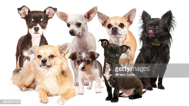 7 different Chihuahua's !