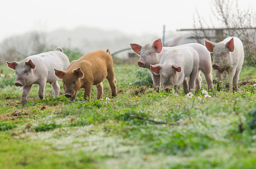 4 different coloured piglets looking into the camera 1055964804