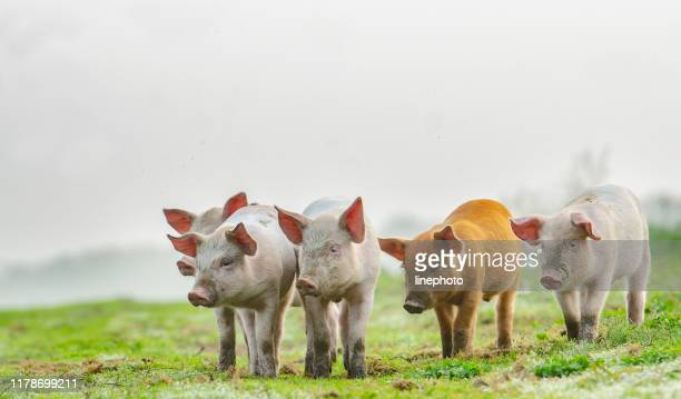 4 different colours piglets standing in front of the photographer - pig stock pictures, royalty-free photos & images
