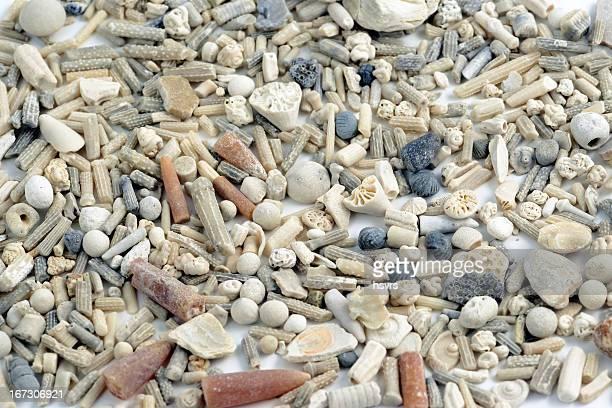 diferentes fossiles como belemnoids - fossil fotografías e imágenes de stock