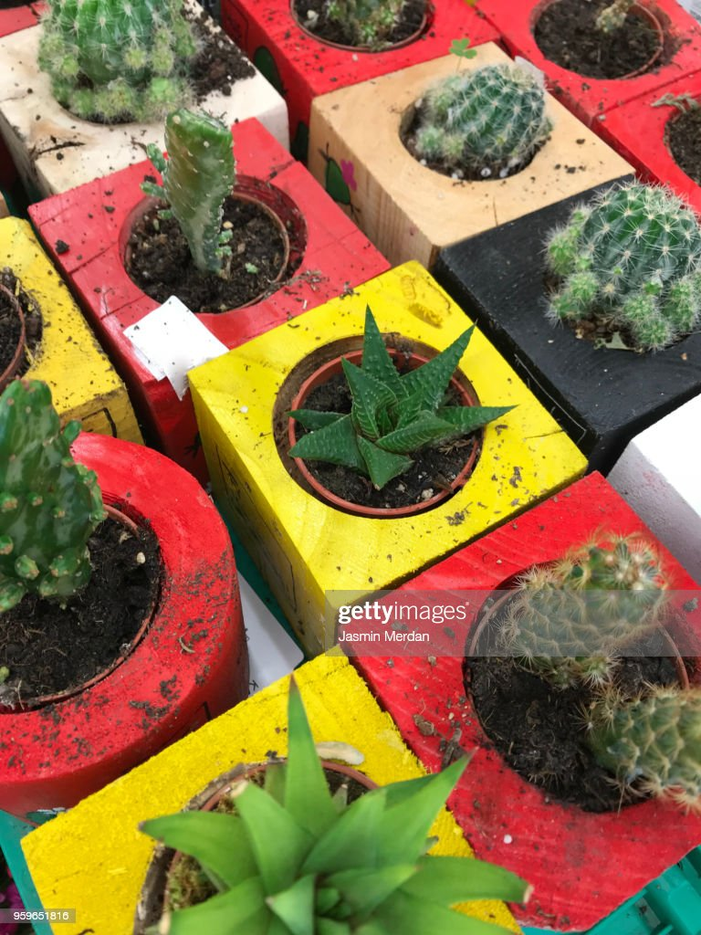 Different little cactus in store : Stock-Foto