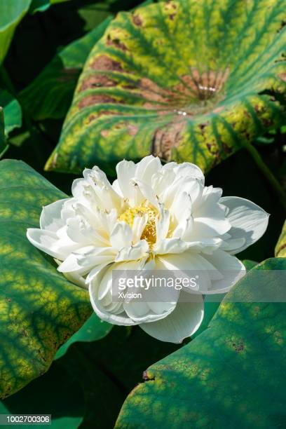 Lotus flower outline stock photos and pictures getty images different lotus flower species blooming mightylinksfo