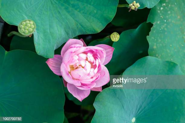 different lotus flower species blooming