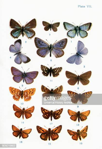 Different types of butterflies Illustration by WSFurneaux From the book Butterflies Moths and Other Insects and Creatures of the Countryside...