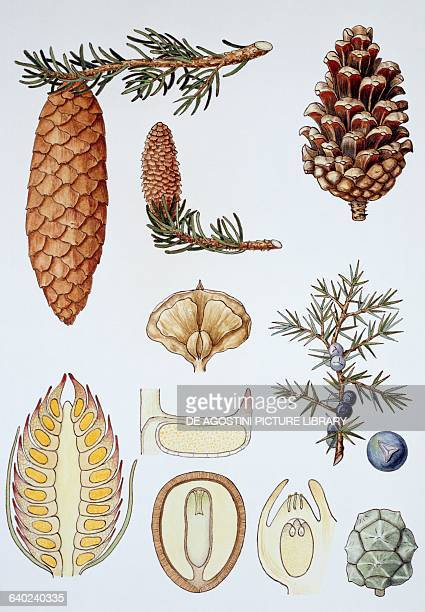 Different types of cone or strobile drawing
