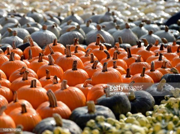 Different varieties of pumpkins are pictured on a tourist farm in Klaistow Germany 13 September 2013 Photo RALF HIRSCHBERGER/dpa | usage worldwide