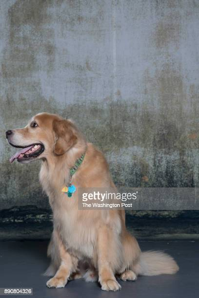Digby is a golden retriever photographed at Union 206 Studio in Alexandria Virginia on September 06 2017