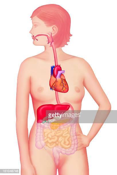 Digestive System Illustration