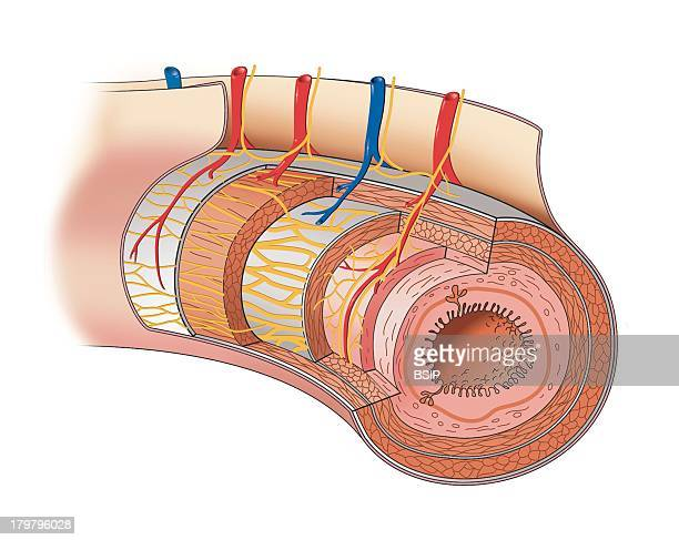Digestive System Illustration The Digestive Tube Extending From The Esophagus To The Anal Canal Is Composed Of A Wall Containing Four Tunics Or...