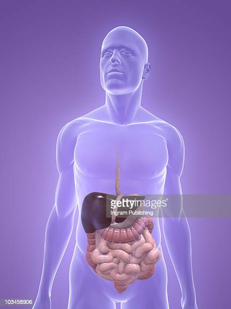 digestive system - human intestine stock photos and pictures