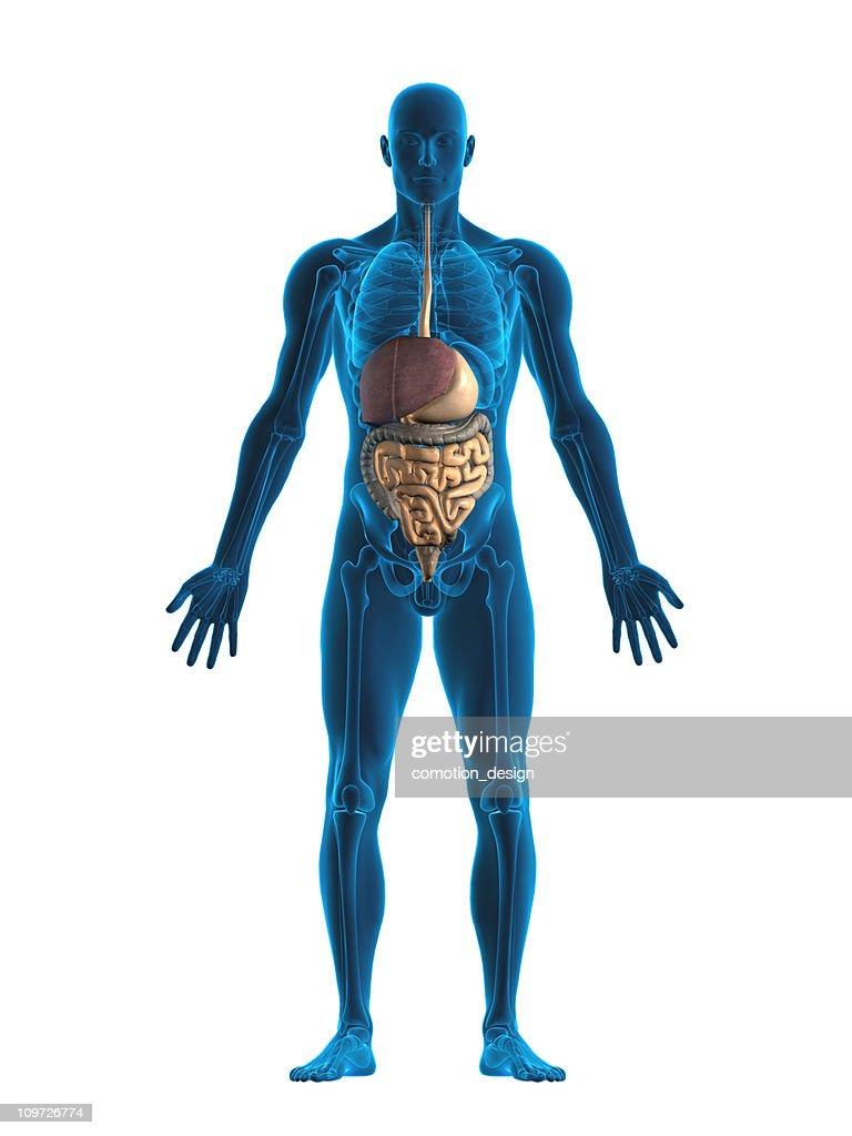 Digestive system : Stock Photo