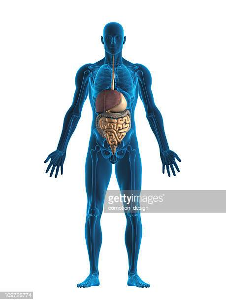 digestive system - human stomach internal organ stock photos and pictures