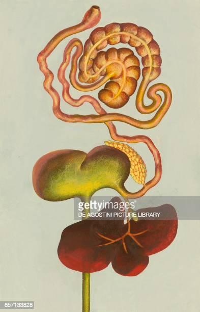 Digestive tract system of nonruminant mammalians drawing
