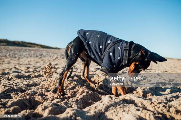 digging at the beach! - pet clothing stock pictures, royalty-free photos & images