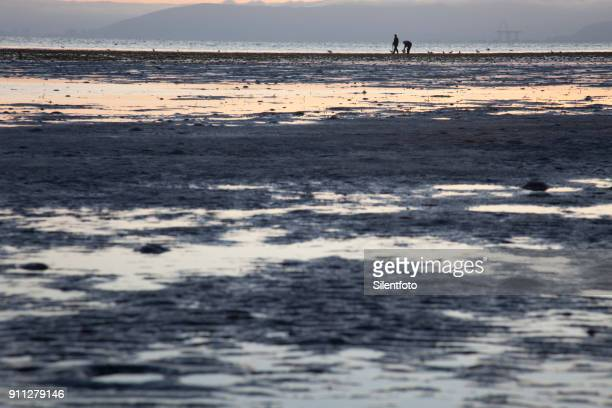 digging for clams on dusky alameda shoreline, sf bay area - low tide stock pictures, royalty-free photos & images