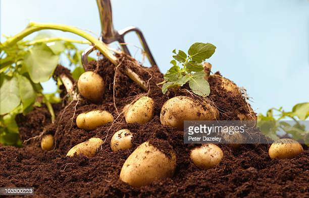 digging up organic potatoes - crop stock pictures, royalty-free photos & images