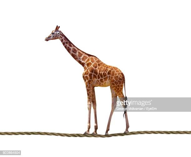 digital composite image giraffe standing on rope against white background - white giraffe stockfoto's en -beelden