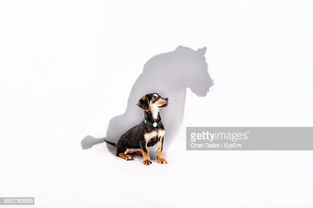 digital composite image of dog with lion shadow against white background - lion feline stock pictures, royalty-free photos & images