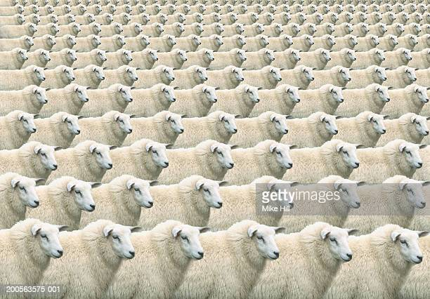 Digital composite of flock of identical sheep, full frame