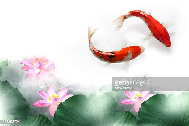 digital composite of gold fish and lotus - koi carp stock photos and pictures