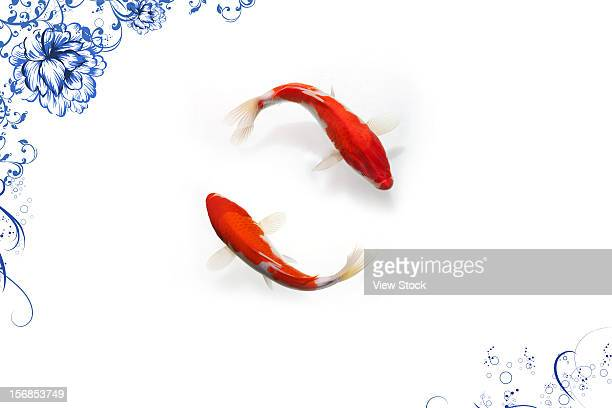 digital composite of gold fish - koi carp stock photos and pictures