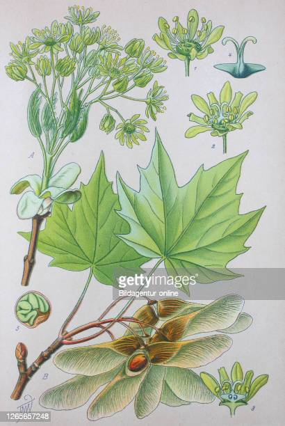 Digital improved high quality reproduction: Acer platanoides, also known as Norway maple, is a species of maple native to eastern and central Europe...