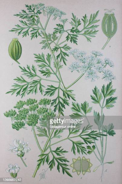 Digital improved high quality reproduction: Aethusa cynapium, fool's parsley, fool's cicely, or poison parsley, is an annual, rarely biennial, herb...