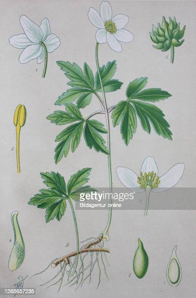 Digital improved high quality reproduction: Anemone nemorosa is an early-spring flowering plant in the buttercup family Ranunculaceae, native to...