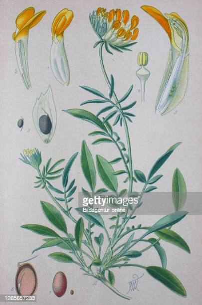 Digital improved high quality reproduction: Anthyllis vulneraria , common kidneyvetch, kidney vetch, woundwort, is a medicinal plant native to Europe...