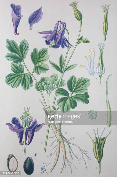 Digital improved high quality reproduction: Aquilegia vulgaris, European columbine, common columbine, granny's nightcap, granny's bonnet, is a...