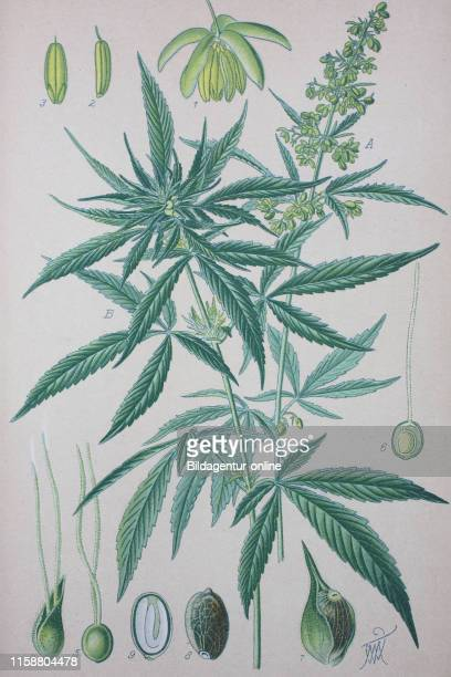 Digital improved high quality reproduction Cannabis sativa is an annual herbaceous flowering plant indigenous to eastern Asia but now of cosmopolitan...