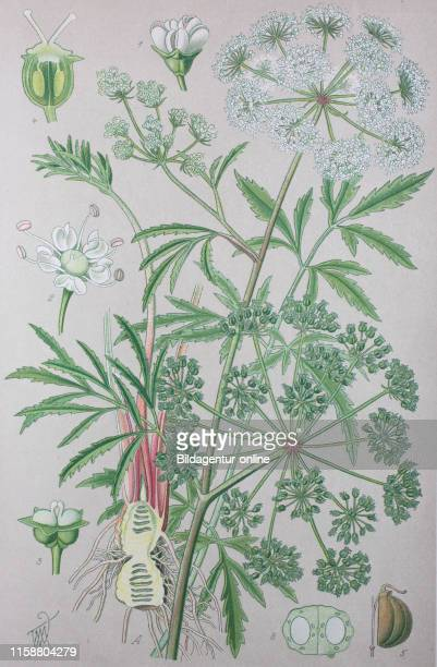 Digital improved high quality reproduction Cicuta virosa the cowbane or northern water hemlock is a poisonous species of Cicuta