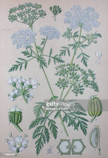 Digital improved high quality reproduction Conium maculatum the hemlock or poison hemlock is a highly poisonous biennial herbaceous flowering plant...