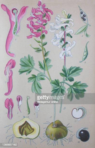 Digital improved high quality reproduction: Corydalis solida, the fumewort, is a species of flowering plant in the family Papaveraceae, native to...