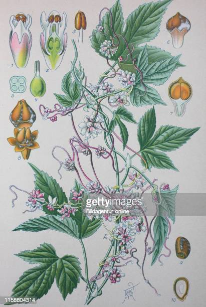 Digital improved high quality reproduction: Cuscuta europaea, the greater dodder or European dodder, is a parasitic plant native to Europe, which...