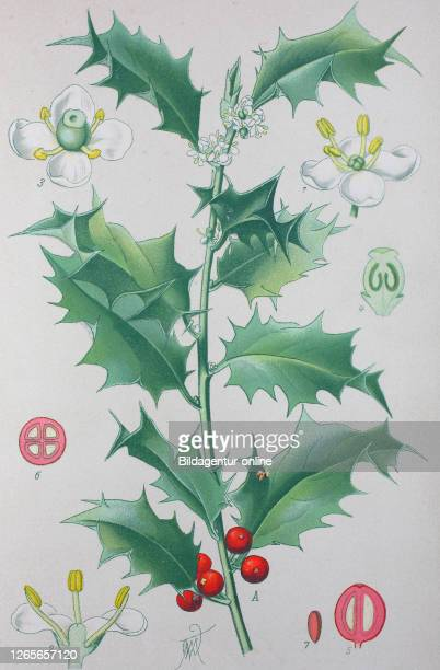 Digital improved high quality reproduction: Ilex aquifolium, holly, common holly, English holly, European holly, or occasionally Christmas holly, is...