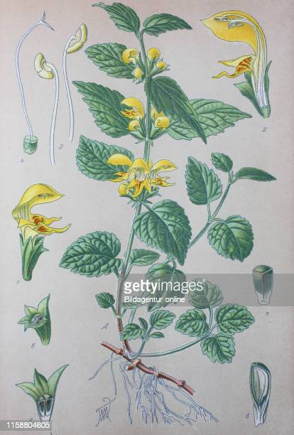 Digital improved high quality reproduction: Lamium galeobdolon, commonly known as yellow archangel, artillery plant, or aluminium plant, is a...