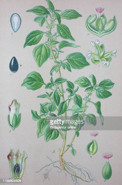 Digital improved high quality reproduction Parietaria judaica with common names spreading pellitory or pellitory of the wall is a species of...