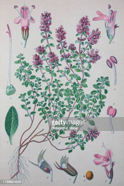 Digital improved high quality reproduction: Thymus serpyllum, known by the common names of Breckland thyme, Breckland wild thyme, wild thyme,...