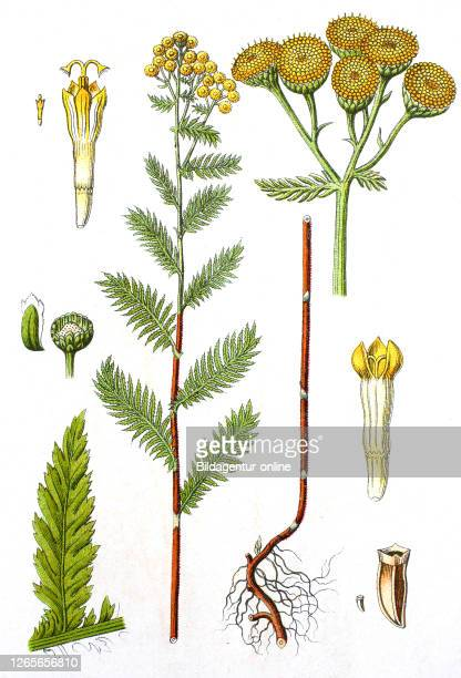 Digital improved reproduction of an illustration of, Rainfarn, Tanacetum vulgare, Tansy, from an original print of the 19th century.